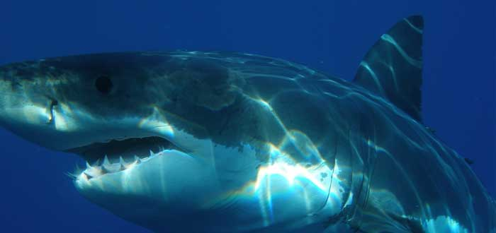 El olfato del tiburón blanco | Un supersentido de la naturaleza
