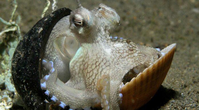 Pulpo Coco | El más inteligente de los invertebrados. ¡Asombroso!