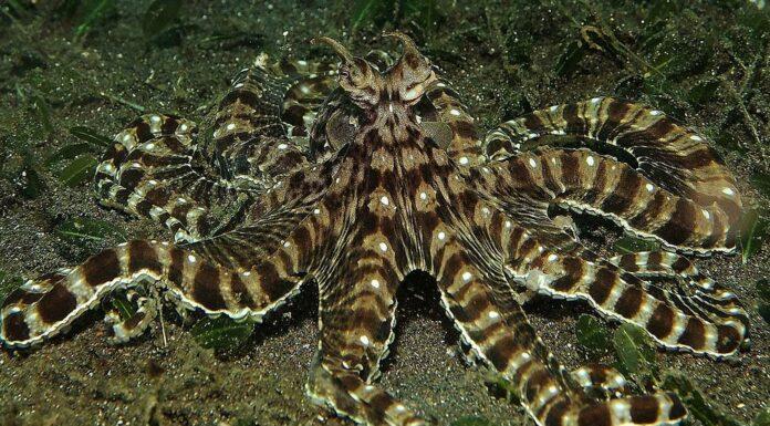Pulpo Mimo | Capaz de imitar a más de 15 animales marinos. ¡Bestial!