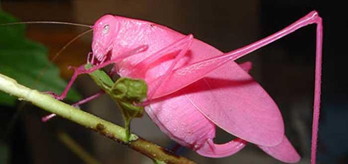 El Saltamontes rosa | Condenado a morir. ¿Por qué?