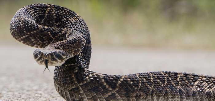 Serpiente de cascabel | 10 Curiosidades. ¡Tiene un supersentido!
