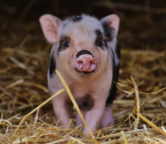 Cerdos en la historia