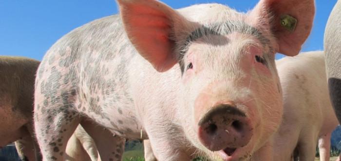 Cerdos en la historia cerdos