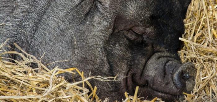 Cerdos en la historia jabalí