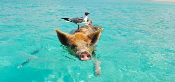 Cerdos en la historia mar