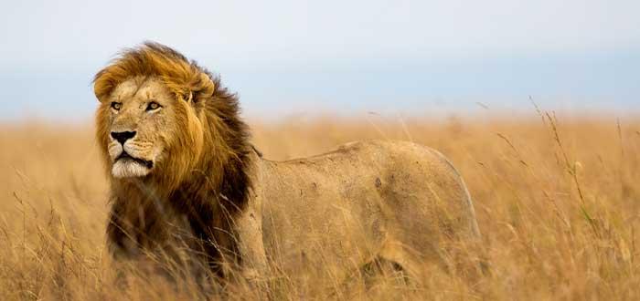 los majestuosos leones