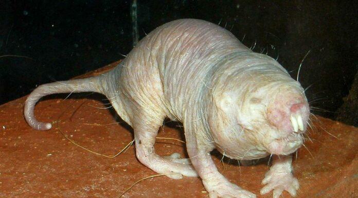 Rata Topo | Curiosidades sobre el animal que no envejece