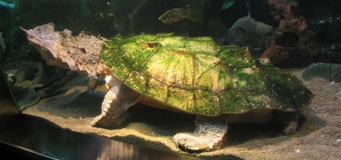 Tortuga Matamata pecera