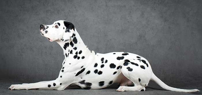 10 Razas de Perros Bonitos del Mundo | Dálmata