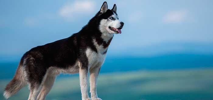 Razas de Perros Bonitos del Mundo | Husky Siberiano