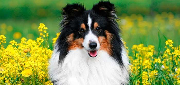 Las 10 Razas de Perros más Inteligentes | Pastor de Shetland