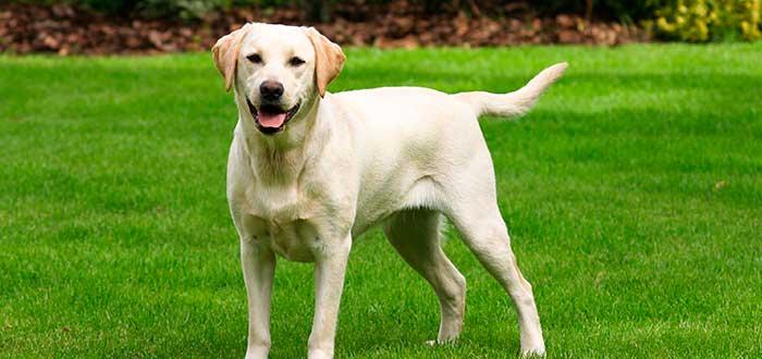 Las 10 Razas de Perros más Inteligentes | Labrador Retriever