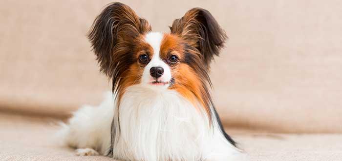 Las 10 Razas de Perros más Inteligentes | Papillon