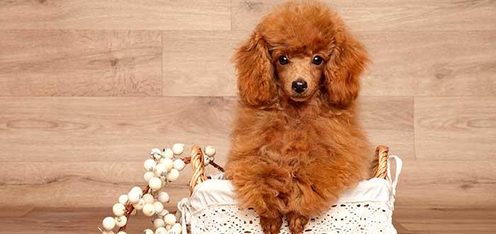 10 Razas de Perros Bonitos del Mundo | Poodle