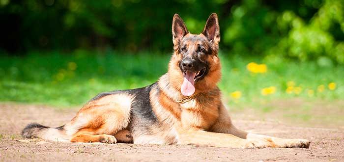 Las 10 Razas de Perros más Inteligentes | Pastor Alemán