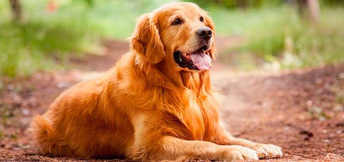 Las 10 Razas de Perros más Inteligentes | Golden Retriever