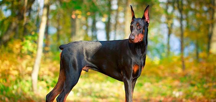 Las 10 Razas de Perros más Inteligentes | Doberman Pinscher
