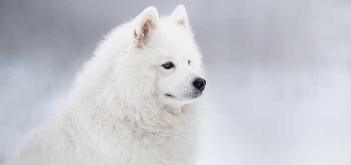 10 Razas de Perros Bonitos del Mundo | Samoyedo