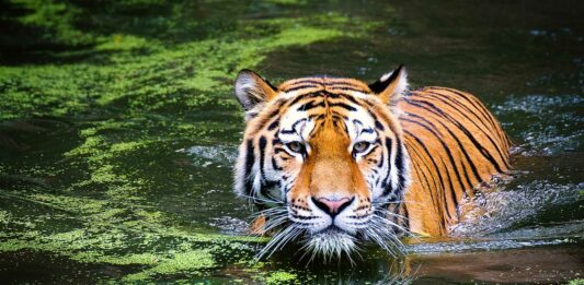 20 Curiosidades del Tigre | ¡Datos sorprendentes! ¡Descúbrelos!