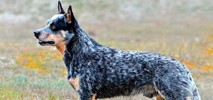 Las 10 Razas de Perros más Inteligentes | Pastor Ganadero Australiano