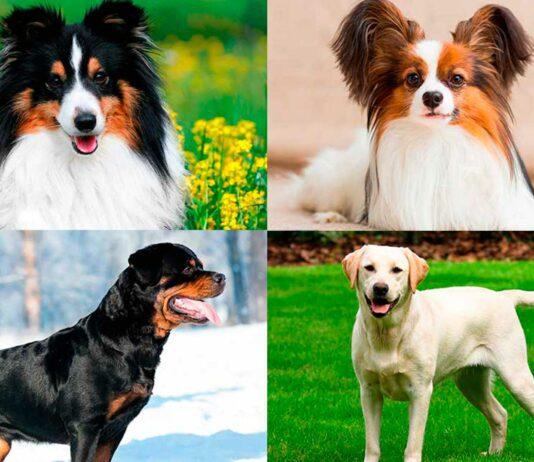 Las 10 Razas de Perros más Inteligentes   Descúbrelas