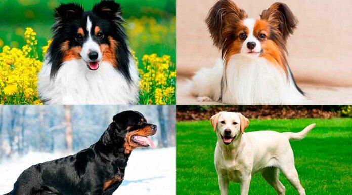 Las 10 Razas de Perros más Inteligentes | Descúbrelas