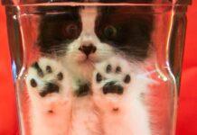 Gato Bonsai | El polémico caso del Bonsai Kitten que nunca existió