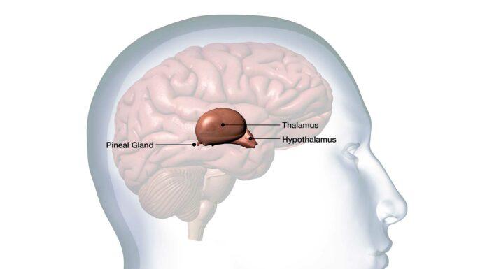 ¿Qué es la glándula pineal? Todo lo que necesitas saber