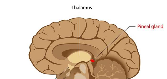 Qué es la glándula pineal. Todo lo que necesitas saber. 1