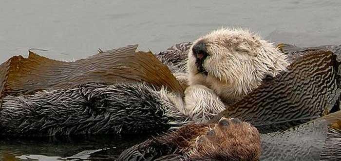 Nutria marina durmiendo