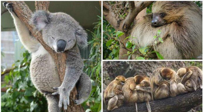 Cuál es el animal que más duerme | ¡Descúbrelo y sorpréndete!