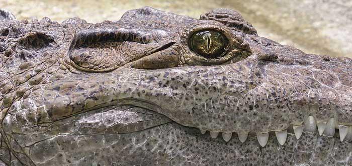 10 Curiosidades de los Cocodrilos | Aparecieron hace 55 millones de años