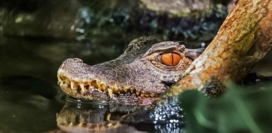 datos curiosos del cocodrilo