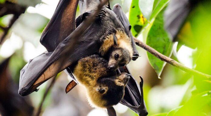 Los murciélagos | 20 curiosidades que te asombrarán