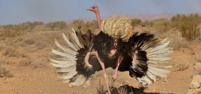 Animales del desierto | Avestruz de cuello rojo