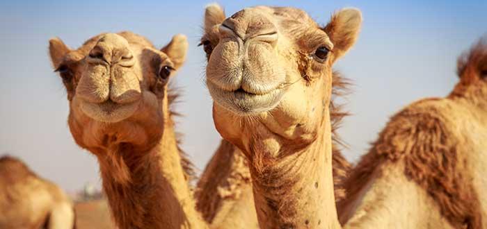 Animales del desierto | Camello