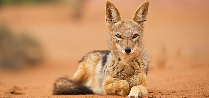 Animales del desierto | Chacal