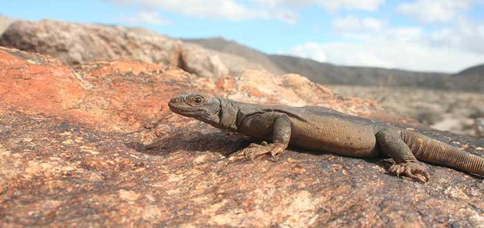 Animales del desierto | Iguana del desierto