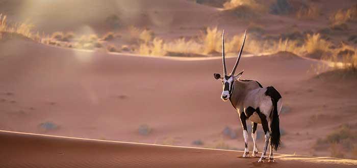 Animales del desierto | Oryx