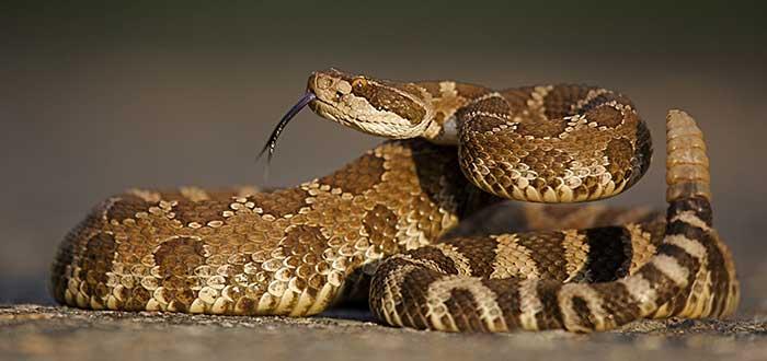Animales del desierto | Serpiente de Cascabel