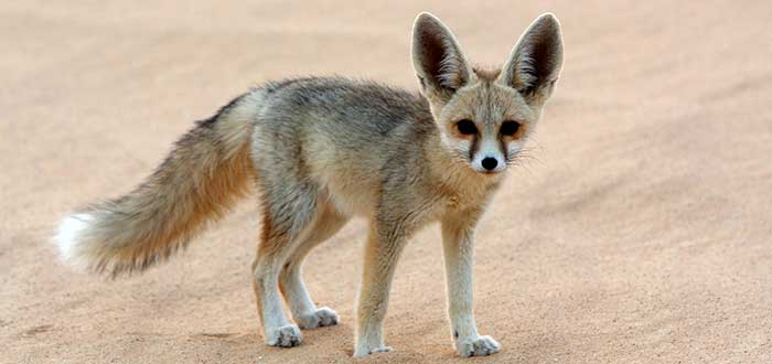 Animales del desierto | Zorro del desierto