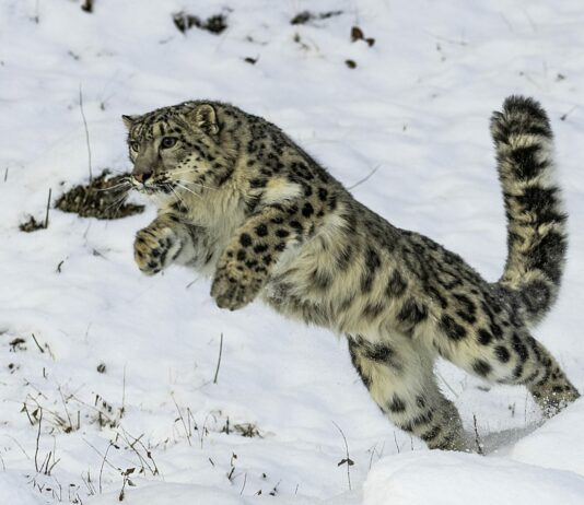 El Leopardo de las Nieves una especie bajo amenaza