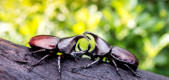 escarabajo rinoceronte japonés