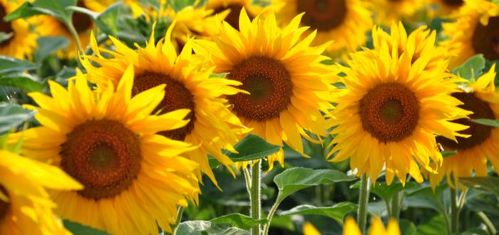 El lenguaje de las flores. qué significa cada una de ellas.