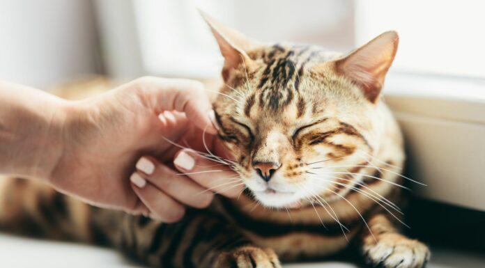 ¿Para qué sirven los bigotes de los gatos? | ¡Descúbrelo!