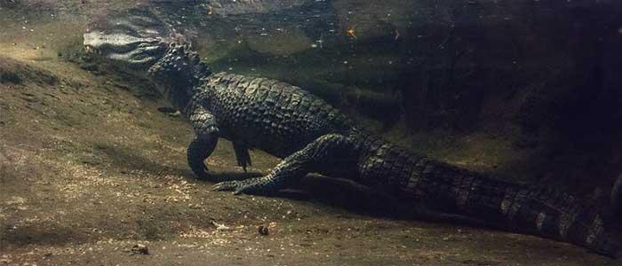 cocodrilos gigantes