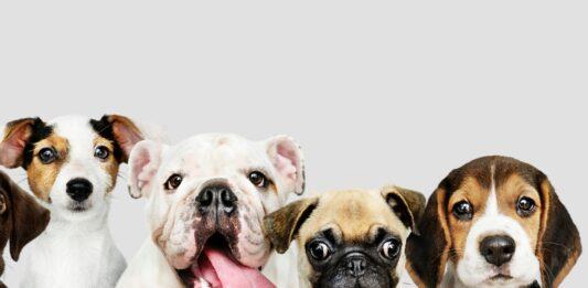 Las 10 Razas de Perros Medianos Más Juguetones y Divertidos