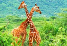 Curiosidades de las jirafas