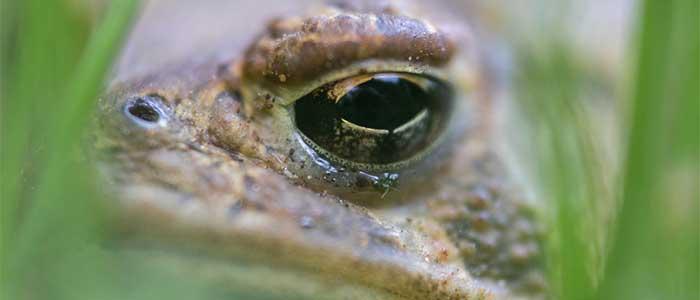 fobia a las ranas