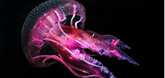 datos curiosos sobre las medusas